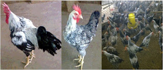 contoh ayam kampung unggul