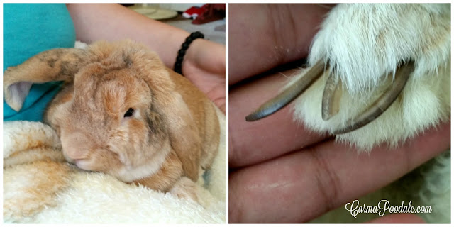 Long eared #rabbit with extra long nails-Carmapoodale.com