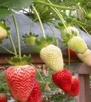 Demikian Artikel Tentang Cara Menanam Strowberry Di Polybag Pot