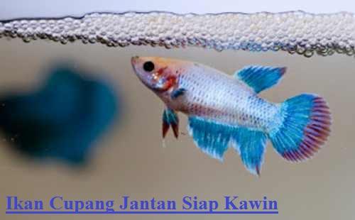 Ikan Cupang Jantan Siap Kawin