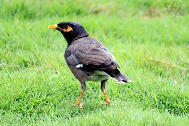 Common Indian Myna(23cm) - Ooty