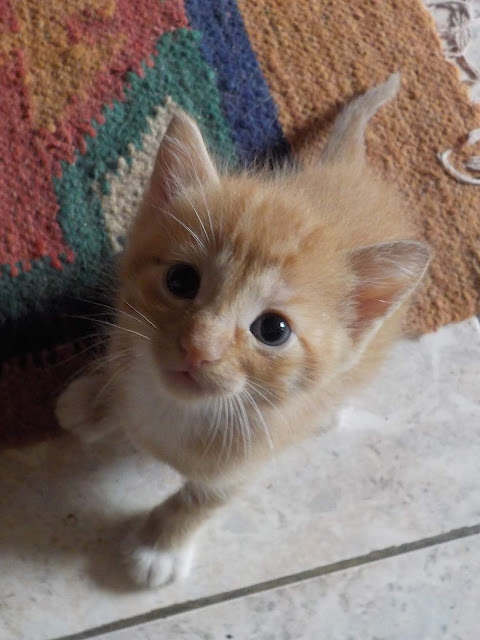 orange kitten ginger cat
