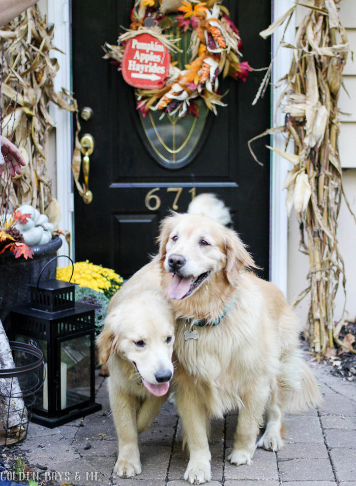 Fall decor by front door with welcoming golden retrievers