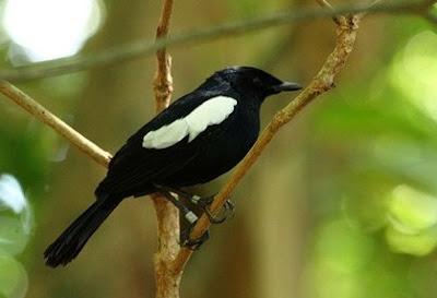 5 Jenis Burung Kacer Yang Bagus Dan Daerah Asalnya