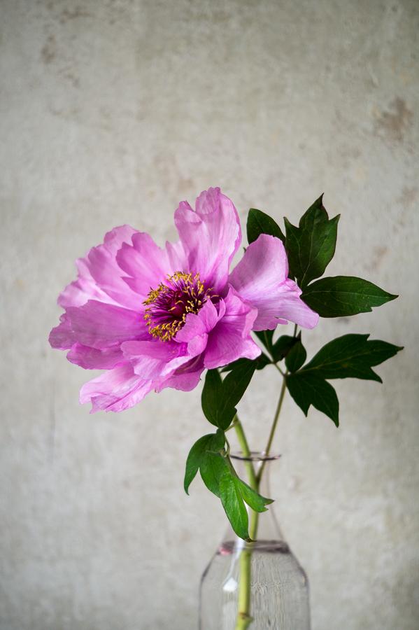 Blog + Fotografie by it's me! | fim.works | Bunt ist die Welt | Blumen | rosa-fliederfarbene Bauernpfingstrose in einer blassrosa Vase