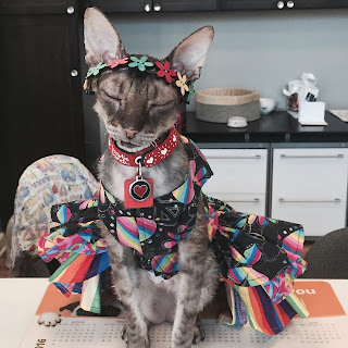 Kely the Cornish Rex in Hippy dress at Just Cats Clinic