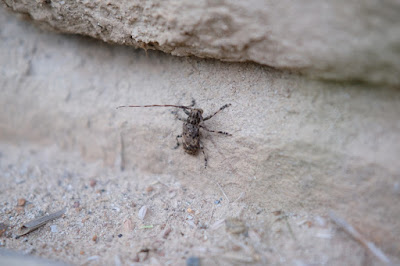 長野県生坂村 工芸と喫茶ひとつ石 里山の昆虫 カミキリムシ