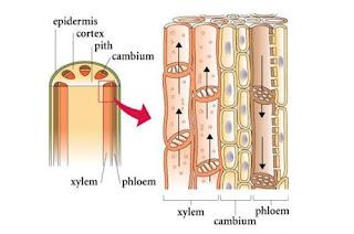 Jaringan Pengangkut (Xylem dan Floem)
