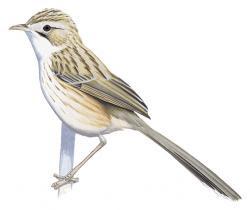 Rhopophilus albosuperciliaris