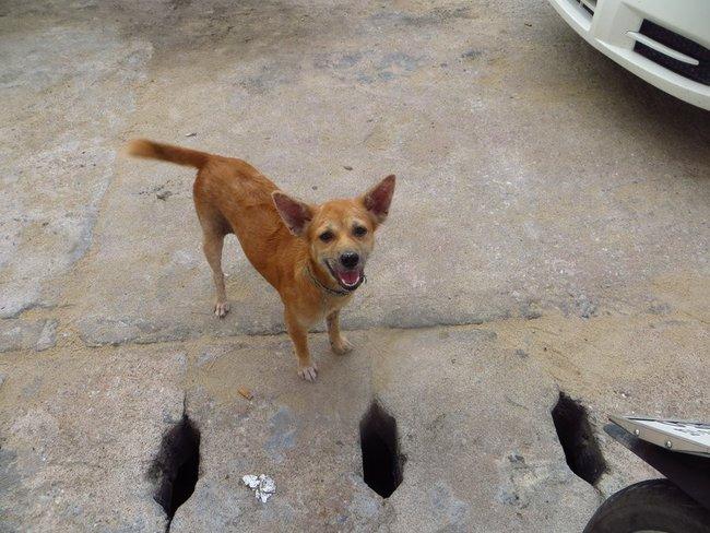 Улыбающийся пес Таиланд