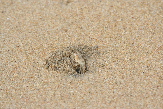 Day 254 / 2013 - A tiny crab scurrying into its home, on a Chennai beach!