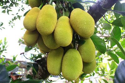 Quảng Ngãi Một cây mít trổ gần 500 trái