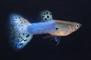 أسماك الطاووس الصينية الرائعة الجمال سبحــــــان الله image01615-739564.jp