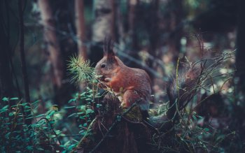 Wallpaper: Red Squirrel