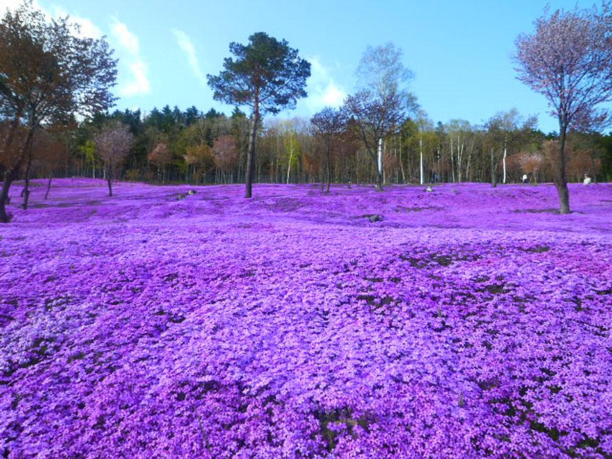 Takinoue Park, Japan, Shibazakura Flowers