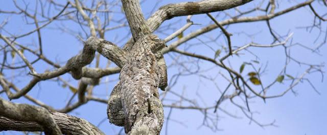 Urutau-grande ou mãe-da-lua-gigante - Nyctibius grandis