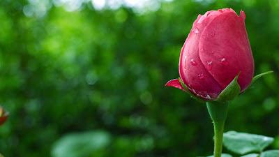 Rose-close-petal-nice-flowerrpics