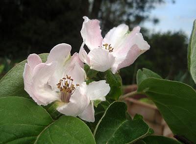 Flores de membrillero
