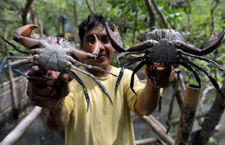 Teknik Memancing Kepiting Dan Rajungan