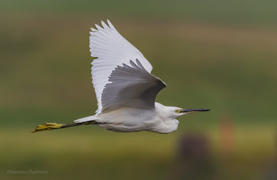 Little egret in the mist - Woodbridge Island
