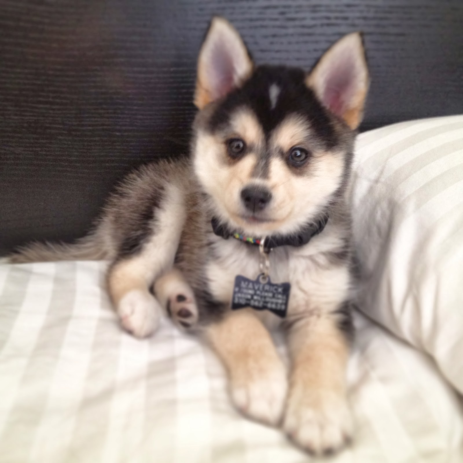 The Cute Pomsky Puppies Information
