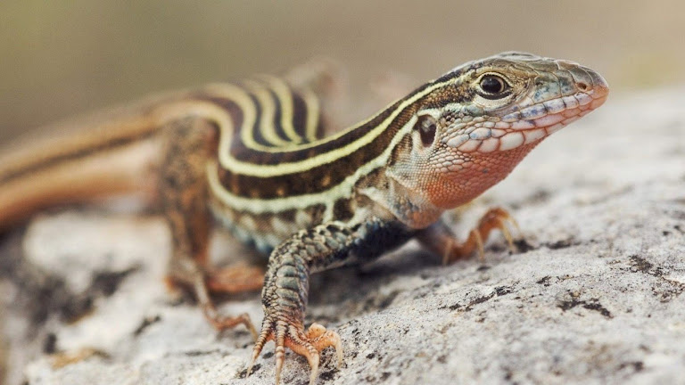 lizard hd wallpapers 8