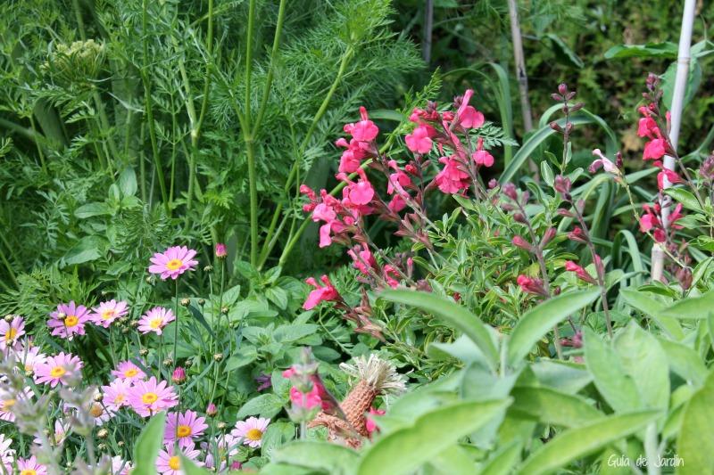 Margaritas rosa y salvia microphylla