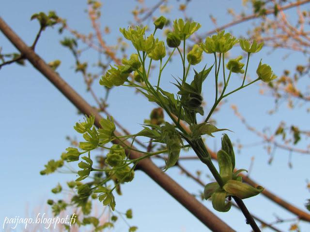 vaahtera kevät