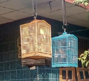 Bahaya menjemur burung ocehan terlalu lama