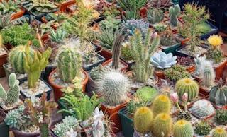 bibit-murah-kaktus-sukulen.jpg