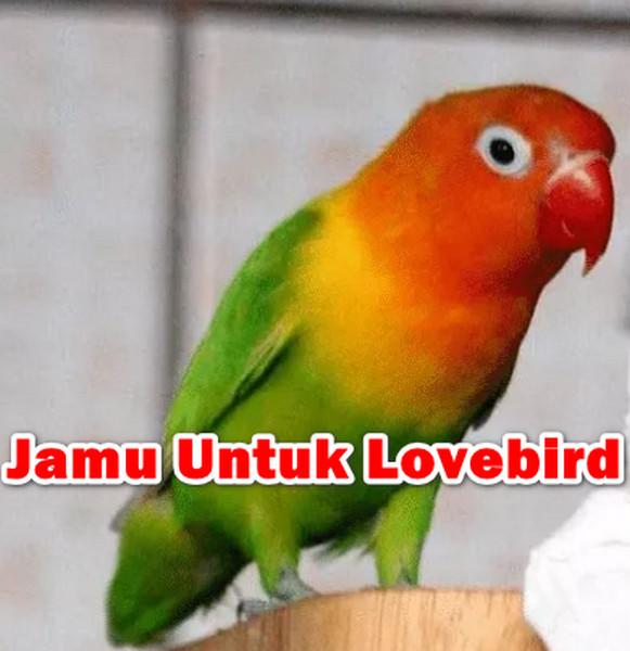 Jamu Untuk Lovebird