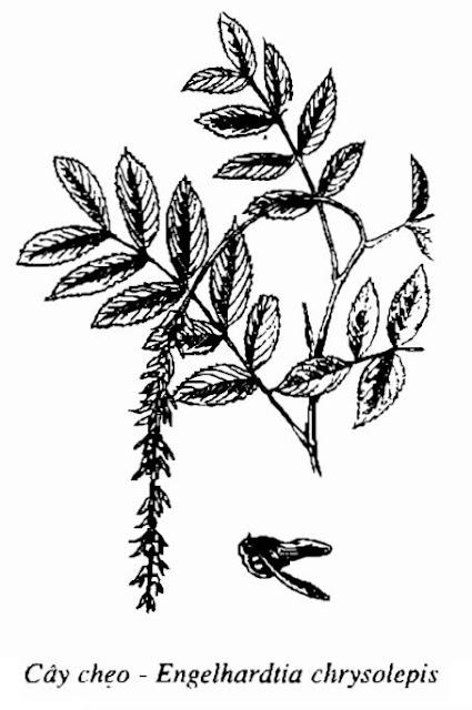 Hình vẽ Cây chẹo-Engelhardtia chrysolepis-Nguyên liệu làm thuốc Có Chất Độc