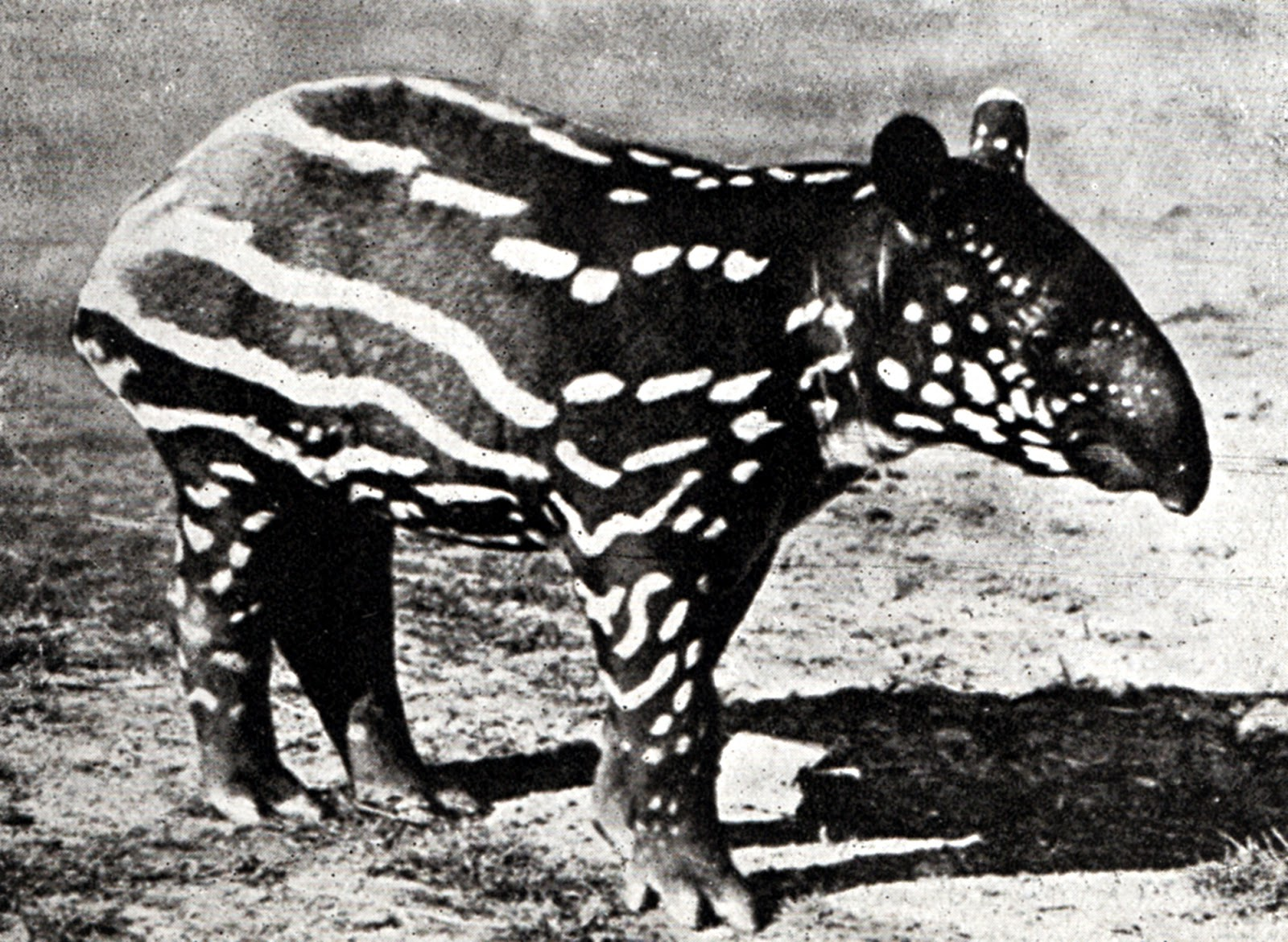 ShukerNature: TAPIRS AND TIGELBOATS – DOES THE MALAYAN TAPIR