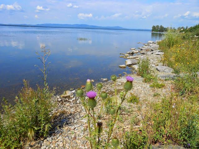 Колючка на фоне озера Иртяш