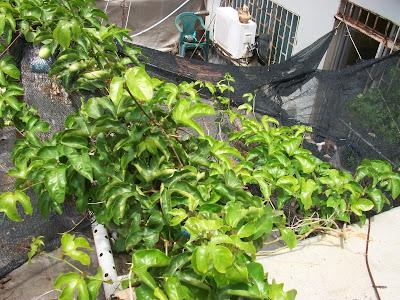 Passiflora edulis, planta en maceta