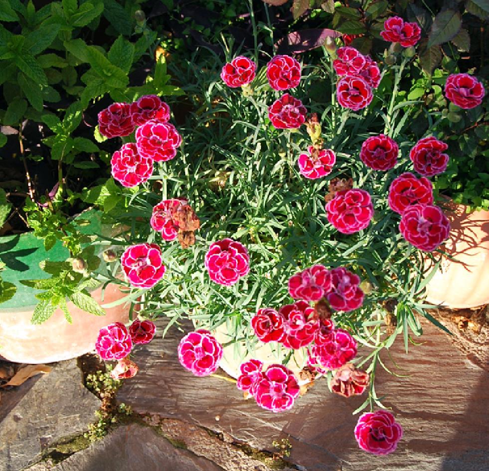 fotos de flores claveles de varios tipos y colores