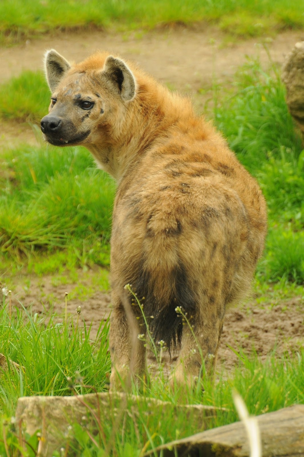 A picture of a hyena.