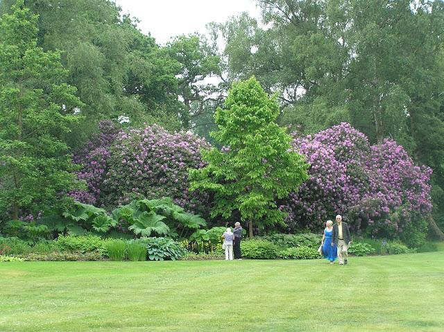stare rododendrony