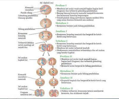 Pembelahan meiosis, pembelahan pada sel, macam pembelahan sel, www.bukusemu.my.id