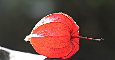 buah physalis ciplukan