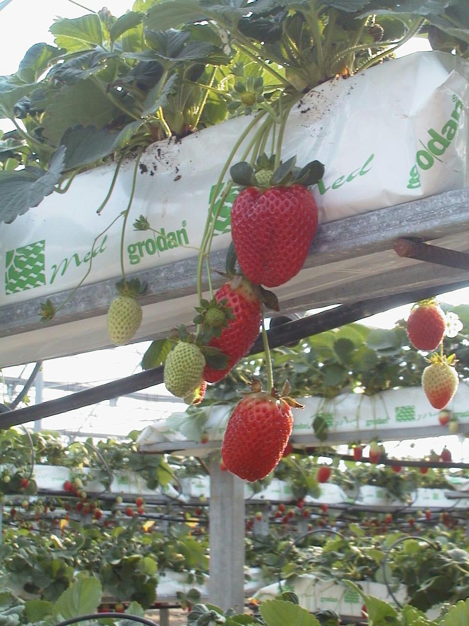 Fitosofia cultivo de fresas en lana de roca - Lana de roca precio ...