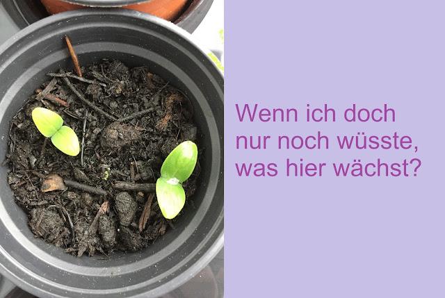 Aussaat Topf mit Gurken Borretsch