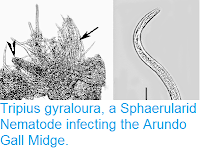 http://sciencythoughts.blogspot.co.uk/2015/04/tripius-gyraloura-sphaerularid-nematode.html
