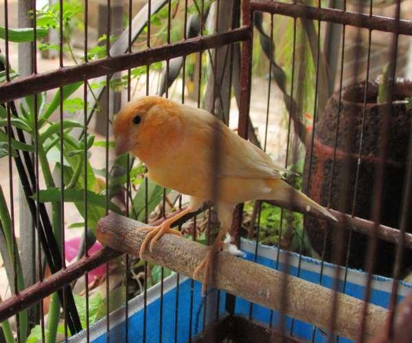 canário-doméstico-amarelo