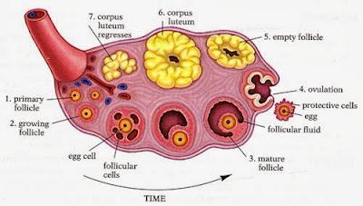 ovar glanda sexuala feminina