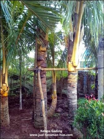 Jual Pohon Kelapa Gading | Pohon Pelindung