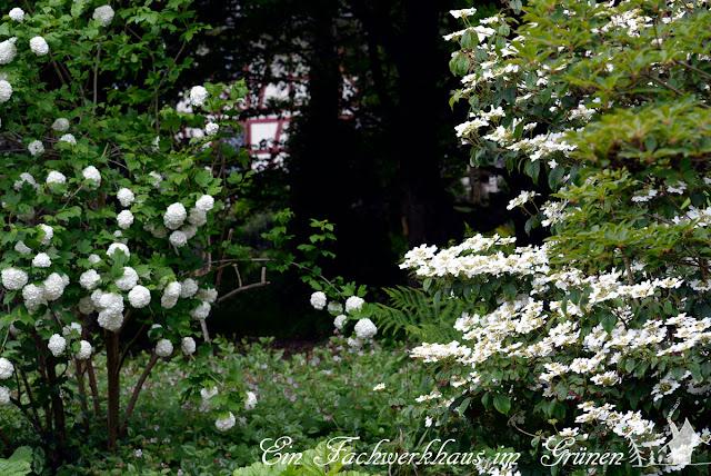 Echter Schneeball, Viburnum opulus Roseum