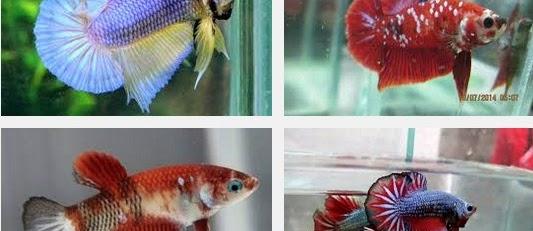 Mengenal Ikan Hias Cupang Plakat, Sejarah Lahir Dan Jenisnya