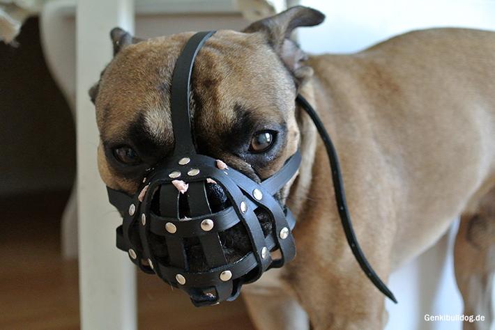 Kurzer Maulkorb passend für Französische Bulldogge