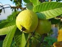 buah jambu biji obat herbal diabetes